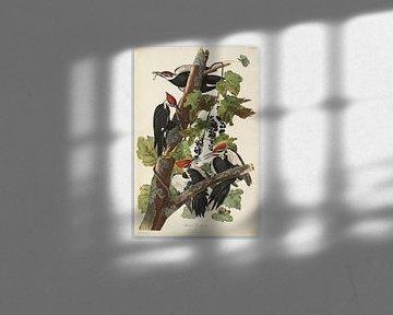 Bonte Specht  - Teylers Edition -  Birds of America, John James Audubon van Teylers Museum