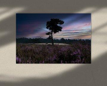 Das blühende Heidekraut, Loonse Drunense Dünen von Nynke Altenburg