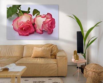 zwei rosa weiß rosa von Robin Verhoef