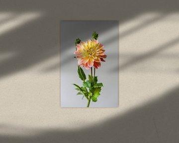 Fleur de dahlia sur Carla Van Iersel