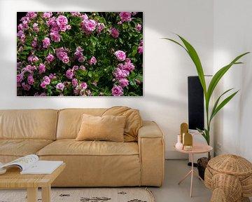 Rosenhecke mit pinken Blüten von David Esser