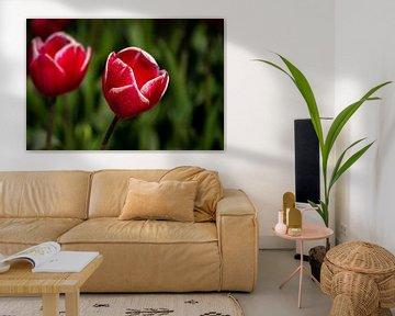 Rote Tulpe von Eugenlens