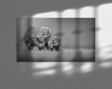 Schotse Hooglanders van Paula Darwinkel