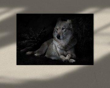 Kalm vertrouwen van een liggende imposante she-wolf tegen de achtergrond van een nachtelijk bos (str van Michael Semenov