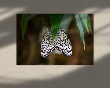 Luconoe vlinder von Barbara Brolsma