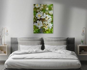 Weiße Rosen von Myrthe Visser-Wind