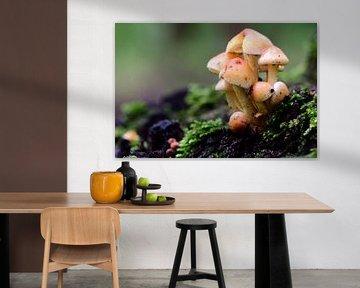 Groupe de petits champignons sur Gerard de Zwaan