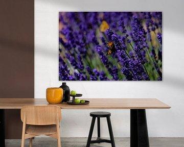 Ein Schmetterling kleiner Fuchs auf Lavendel Pflanzen von David Esser