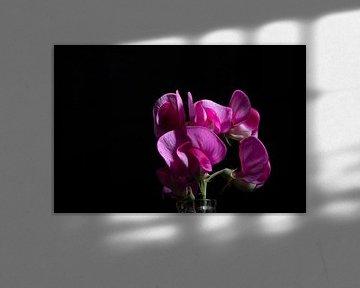 purpurner Lathyrus von anne droogsma