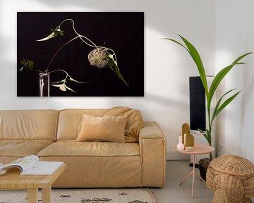 Clamatis mit schwarzem Hintergrund von anne droogsma