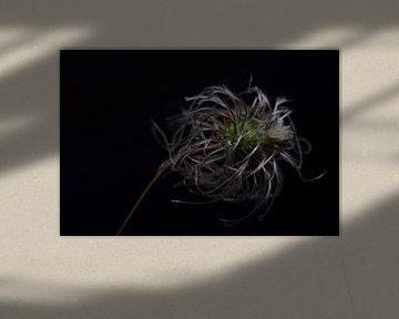 Clematis im Herbst von anne droogsma