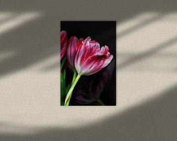 Tulpen bicolor von Roswitha Lorz