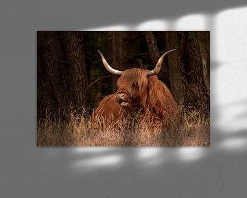 Schotse Hooglander 1 van Alie Ekkelenkamp