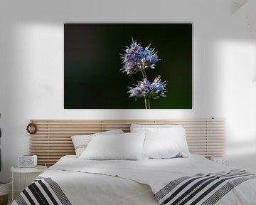 Fleur de menthe aquatique (Mentha aquatica), une plante vivace poussant à l'état sauvage dans les zo