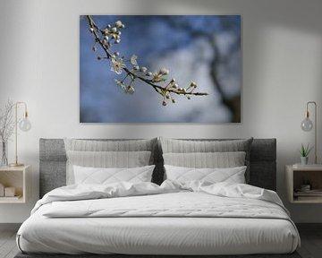 Prunier cerise en fleurs (Prunus cerasifera) avec de petites fleurs blanches au printemps ou à Pâque sur Maren Winter