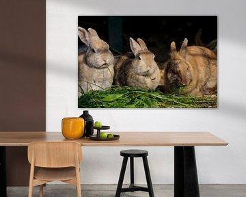 Drie konijnen in de gloed van de avondzon van cuhle-fotos