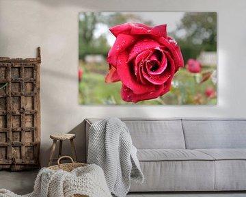 Nahaufnahme einer Rosenblüte von MPfoto71