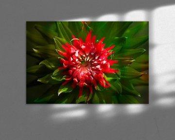 Rot blühende  Dahlie,abstrakt,  Deutschland, Europa