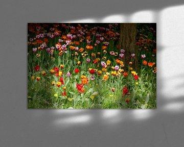 (Tulipa); tulp; tulpen; bloem; bloemen; kleurrijk, tulpenbloesem, bloemenweide van Torsten Krüger
