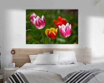 Kleurrijke bloeiende tulpen, (Tulipa), Duitsland van Torsten Krüger