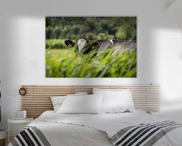 Vache hollandaise cachée dans l'herbe