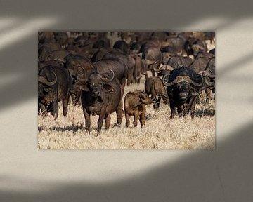 Bison africain dans les plaines herbeuses du Kenya.
