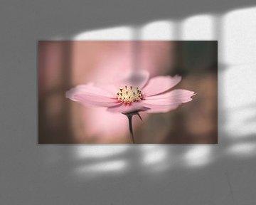 Roze Cosmea bloem in pasteltinten van KB Design & Photography (Karen Brouwer)