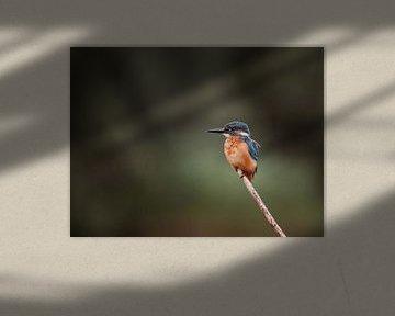 IJsvogel op tak in Nederlandse natuur portret van Maarten Oerlemans