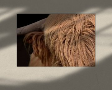 Poils de bovins de Galloway