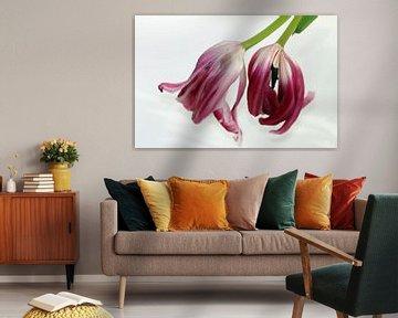 Tulpen verwelken von Roswitha Lorz