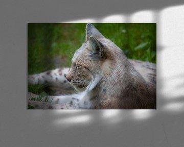 Lynx van Roger Hagelstein