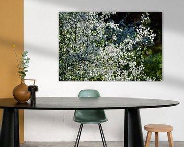 Eine Hecke mit weißen Blüten wird vom Sonnenlicht angestrahlt von David Esser