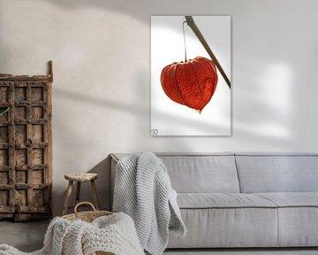 Lampionplant van Paul De Keizer