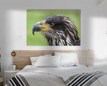 Poisson américain Aigle