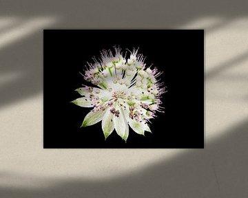 Macro van een sterparaplubloem op zwarte achtergrond van ManfredFotos