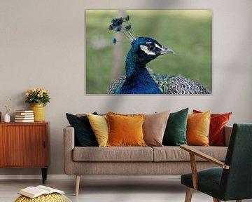 portret van een trotse pauw van W J Kok