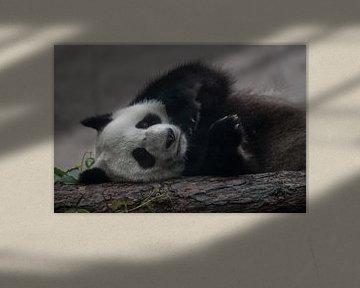 Een grappige panda ligt op zijn zij op een boomstam, schattige vredige beer van Michael Semenov