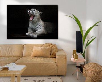 Ein schlankes Puma-Weibchen liegt und öffnet lustig und gruselig ihr Maul, als ob sie knurrt oder je von Michael Semenov