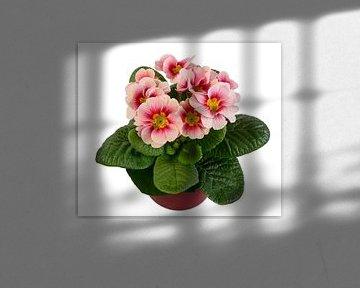 Rosa Primeln auf weißem Hintergrund von ManfredFotos