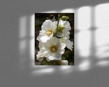 Weiße Stockrose von Tim Lotterman Photography