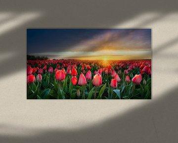 Zonnestralen strelen een rood tulpenveld