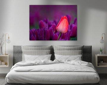 Close up - rode tulp in paarse tulpenveld van Rene Siebring