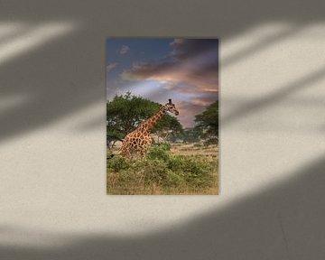 Baringo Giraffe (Giraffa camelopardalis), Murchison Falls Nationaal Park, Uganda van Alexander Ludwig