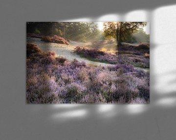 Paysage de bruyère Lievensberg, Brabant septentrional