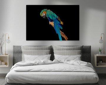 Blauwe papegaai op zwarte achtergrond van Kristof Leffelaer