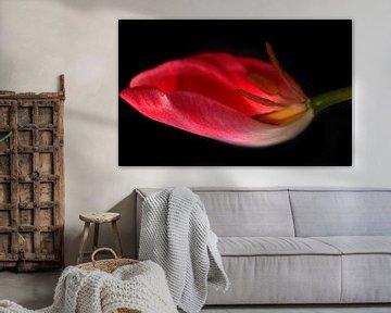 Tulpe in der waage von Roswitha Lorz