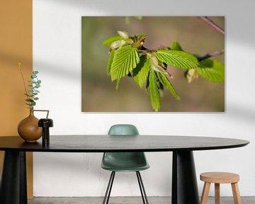 Blätter einer Hainbuche (Carpinus betulus)