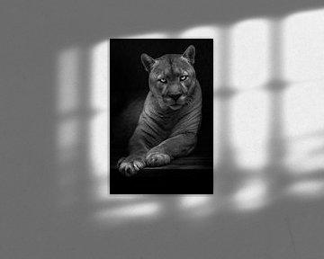De vraag is in de ogen van een lome vrouwelijke poema, gevaarlijk en mooi in het donker, zwart-wit n van Michael Semenov