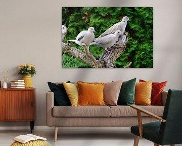 Eurasian Collared Doves van Karin Jähne