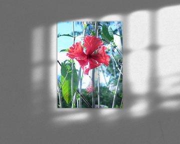 Hibiscus bloem von Daphne Wessel